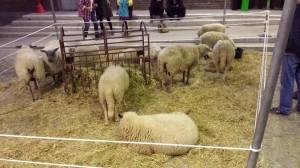Les moutons des bergers urbains de Ciclamen dans la rue couverte de la Condition Publique !